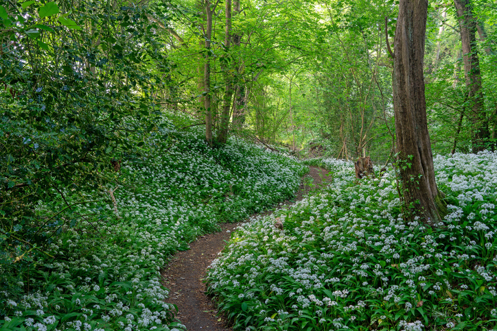 Wild garlic growing in the woods beside a path